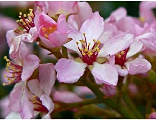 20 Seeds Indian Hawthorn Rhaphiolepis Indica #GBR1