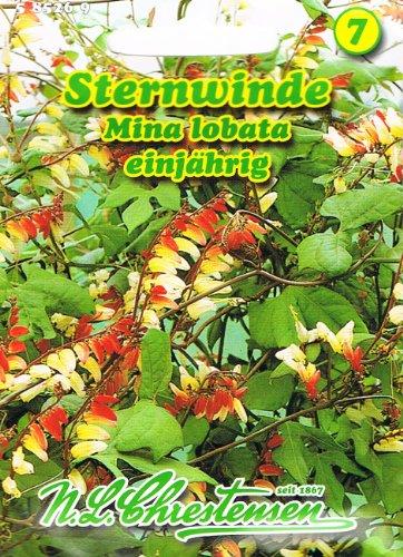 Sternwinde Winde orange bis gelb 'Quamoclit lobata *' lang blühende Schlingpflanze Kletterpflanze