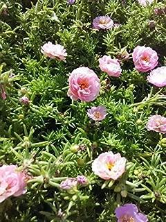 Best wild rose moss Reviews