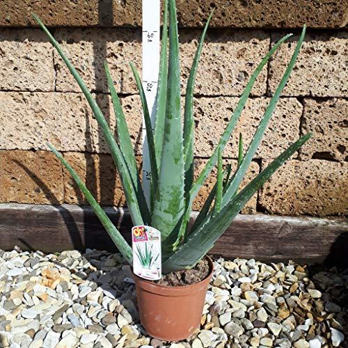 Echte Aloe Vera,medizinisch,bis zu 70cm!!, sehr große Pflanzen im 20er Topf