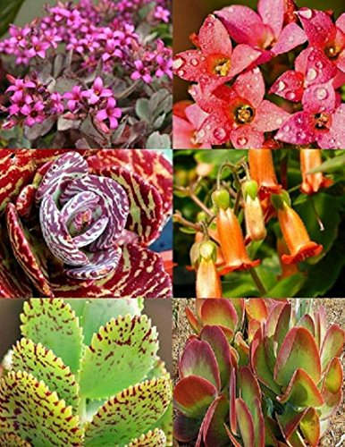 mélange KALANCHOE variété @@ pot rare floraison graines exotiques succulente plante 50 graines