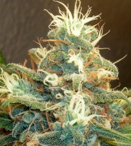 How To Fast Dry Fresh Cannabis/Marijuana Buds (English Edition)