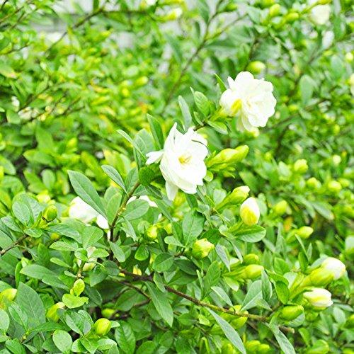 50 Pz / 3 g Cape Jasmine Gardenia Semi di Fiori Profumati Facile Crescere Casa Giardino Piante Semi Decor