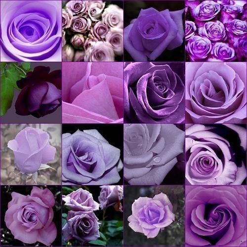 bon marché rares burpee parfum Couleurs Purple Rose graines semences de fleurs le jardinage Polyantha plantes d'intérieur en plein air creepers jardin