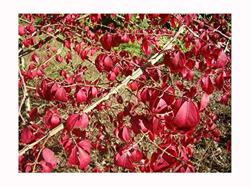 Arbuste ailé (nain), Euonymus alatus, petit arbuste à feuilles caduques, affichage spectaculaire de l'automne, excellent pour le climat britannique, plante 8-10 cm dans un pot de 7 cm