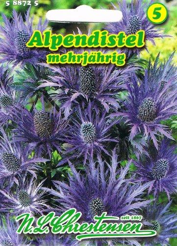 Alpendistel blau Eryngium alpinum Distel mehrjährig Schnittblume und Trockenblume