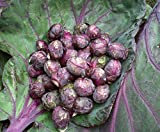 Seeds Brussels Sprouts...image