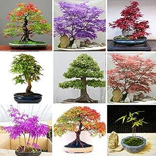 Rosaceae Plants Tourses Autumn Hot Sale Multi-Species Foliage Plants MapleSeeds Green and Purple Color Red Maple BonsaiSeeds Home Garden Plants 50PCS (Mix Color)