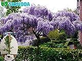 Purple Wisteria, Spectacular Blue Moon Wisteria Vine Plant 6-12