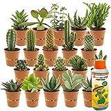 Desertworld Mini-Kakteen & -Sukkulenten, 20er Set - Verschiedene Arten, sehr pflegeleicht, benötigen wenig Wasser - Tolle Dekoration, für Indoor & Garten - Topf-Ø 6 cm, Pflanzenhöhe: 8-15 cm