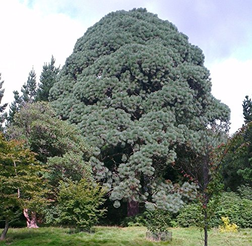 Pinus Montezuma montezumae pinoli!
