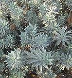 100 impressionanti magic seeds semi bianchi salvia apiana giardino di erbe semi
