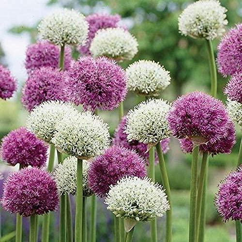5 Stück Allium Giganteum Zwiebeln Zier...