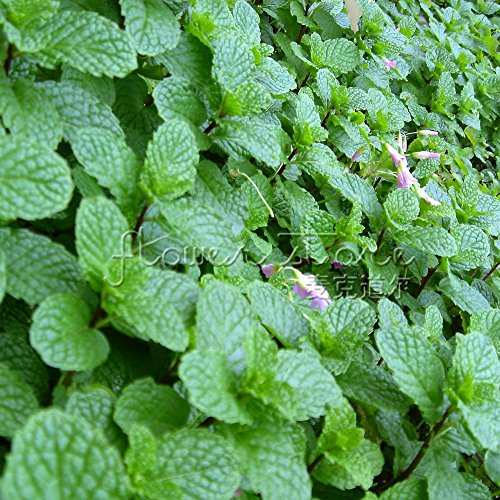 400 Peppermint Herb Seeds spéciales pour Taste & Aroma Easy Care Jardinage Bricolage