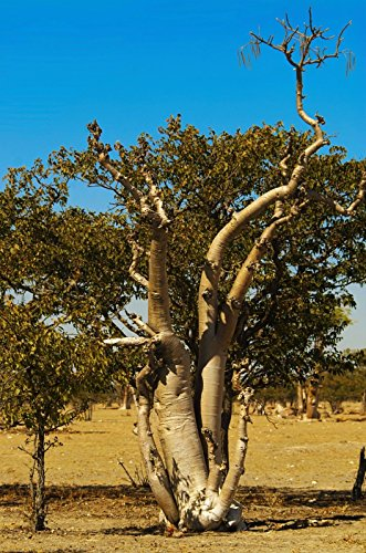 Moringa oleifera rara fioritura bacchetta bonsai semi di piante esotiche 50 semi