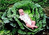 Vegetable Seeds 200 Pcs Giant Cabbage Seeds,a Favorite Choice for Homemade Sauerkraut, Very Late...