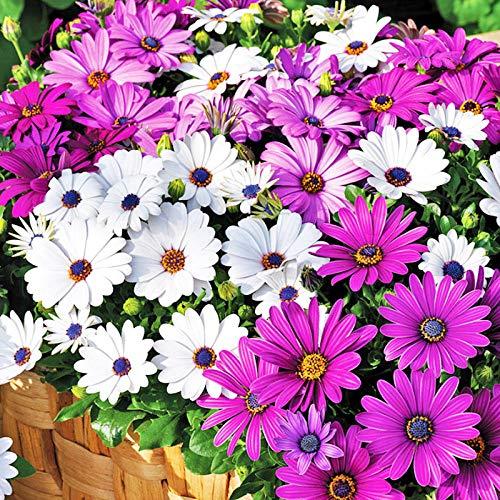 XINDUO Blumensamen winterhart mehrjährig,Pyrethrumsamen - 0,25 kg,Blumensamen für Garten Balkon
