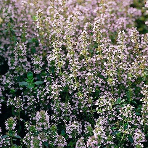 Suffolk Herbes - Common Thym - 200 graines