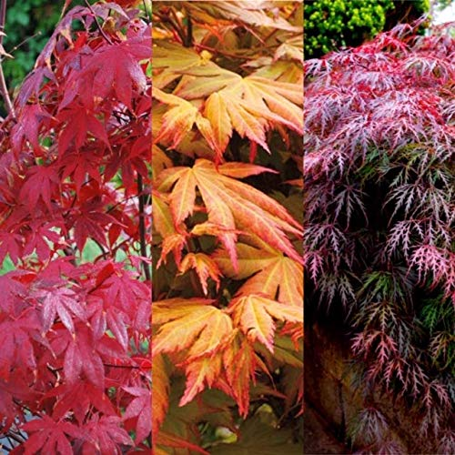 3 x Acer Plant Collection in 11cm Pots - Palmatum Varities Like Atropurpureum - Flamingo - Bloodgood - Osakazuki