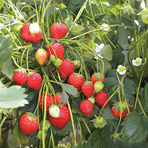 100 Semillas de Fresa (Climbing Strawberry)