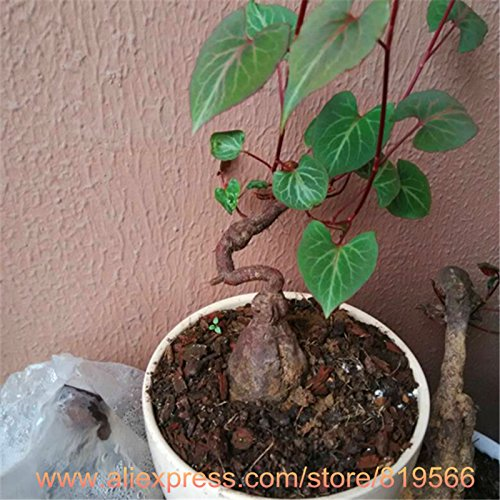 100Pcs / Sac graines blanches Yucca, bonsaï graines de fleurs, plantes d'extérieur, Germination taux de 98%, les plantes en pot pour la maison jardin