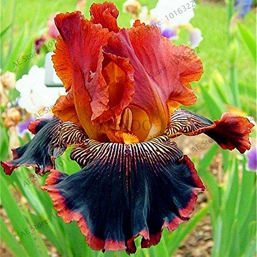 50pcs / sac graines Iris, fleur populaire de jardin de plantes vivaces, graines de fleurs rares coupe magnifique fleur pour la plantation jardin maison orchidées 7