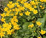 fertig im Pflanzkorb - winterhart! - Caltha palustris - Sumpfdotterblume, gelb - Wasserpflanzen...
