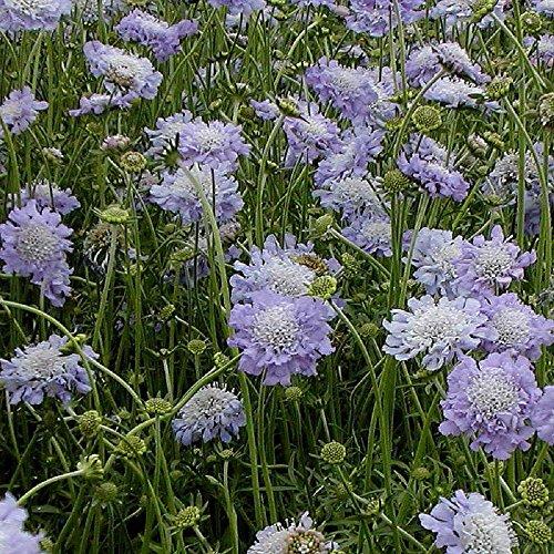 lot de 20 graines de Scabieuse du Caucase Perfection Blue - plantes vivaces