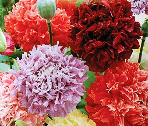 Opio amapola - mezcla de variedad de doble flor; amapola de semilla ancha - semilla