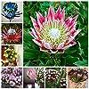 Pinkdose 300 Pz Esotico Protea Cynaroides Fiore Misti Colori Bonsai Pianta Fiorita In Vaso La Tasso di Germogliamento 95% per Decorazioni Per La Casa: 8 #1