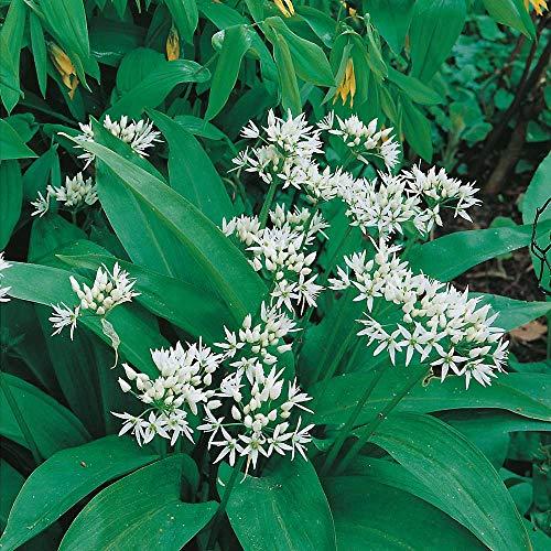 Ramsons Wilder Knoblauch, Wildblume, 400 Samen