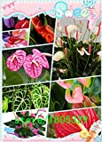 anturios semillas, semillas de anturio baratas del envío libre, flor de Bonsai balcón, anturio en maceta semillas -200...