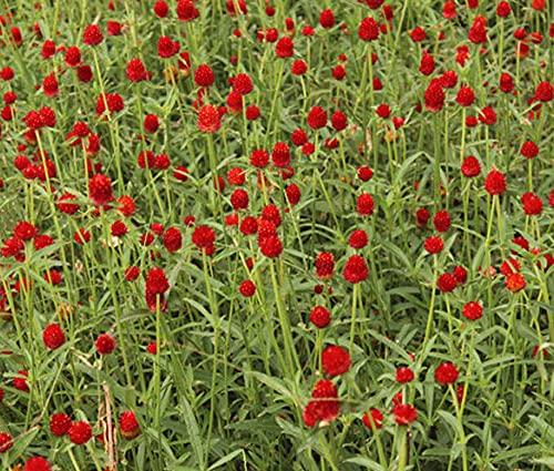 Fuduoduo Alta qualità di Fiori Semi Bonsai,Pianta Facile da Vivere Che Uccide i Semi di Zafferano-0,5 kg_Rosso,Semi di Fiori Primavera