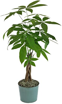 """American Plant Exchange Money Tree Easy-to-Grow Live Plant, 4"""" Pot 1.5' Tall, Indoor/Outdoor Air Purifier"""