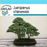 SAFLAX - Geschenk Set - Bonsai - Chinesischer Wacholder - 30 Samen - Mit Geschenk- / Versandbox, Versandaufkleber, Geschenkkarte und Anzuchtsubstrat - Juniperus chinensis