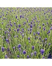 ラベンダー:ふらのぶるー4号鉢植え[富良野ブルー・香りのよい人気の鉢花]