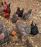 Barnyard Mix Fertile Chicken Hatching Eggs Raised on Organic (6 Eggs)