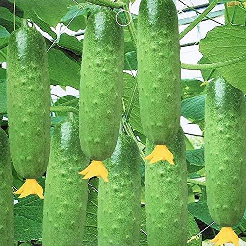 20pcsキュウリ種子有機野菜種子ホームガーデン植物フルーツ