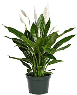 """American Plant Exchange Spathiphyllum Flower Bunch Peace Lily Easy Care Live Plant, 6"""" Pot, Top Indoor Air Purifier"""
