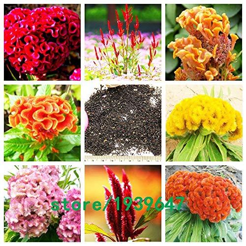 Bloom Green Co. 500 pcs/sac Couleur Rare Magnifique Cockscomb Graines Balcon Patio Bonsai Graines de fleurs Celosia cristata Plante en pot + Cadeau Mystère: multicolore