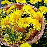 Dandelion Seeds 50 + Colección de plantas de hierbas Sin OGM y sin tratamiento para la plantación de jardines domésticos