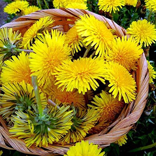 Graines de pissenlit 50 + Collection de plantes herbacées sans OGM et non traitées pour la plantation de jardins familiaux