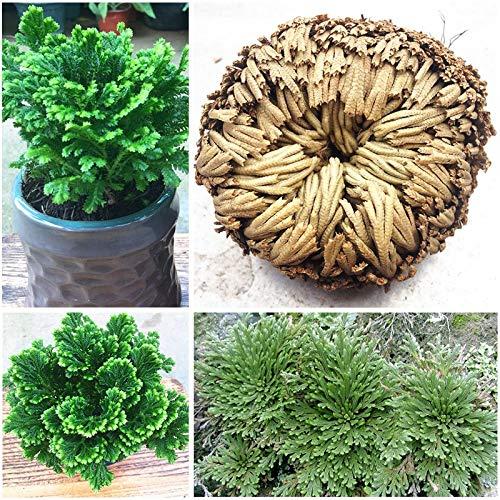GEOPONICS SEEDS: 1 Blub New Hot Selaginella tamariscina Praktische Live-Auferstehung Pflanze Rose Of Jeo Pflanze Air Spike