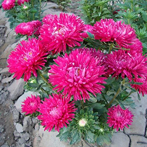 Frühling Blumen mehrjährig winterhart,Garten Aster Blumen Innenbalkon Topf Chrysanthemen Samen-Aster 0,5 kg,Samen fü Blumen