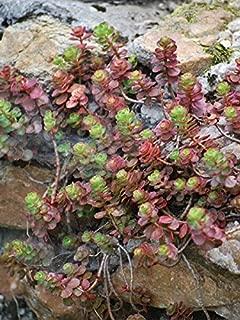 Perennial Farm Marketplace Sedum spurium 'Fuldaglut' ((Stonecrop) Groundcover, 1 Quart', Deep Red Flowers