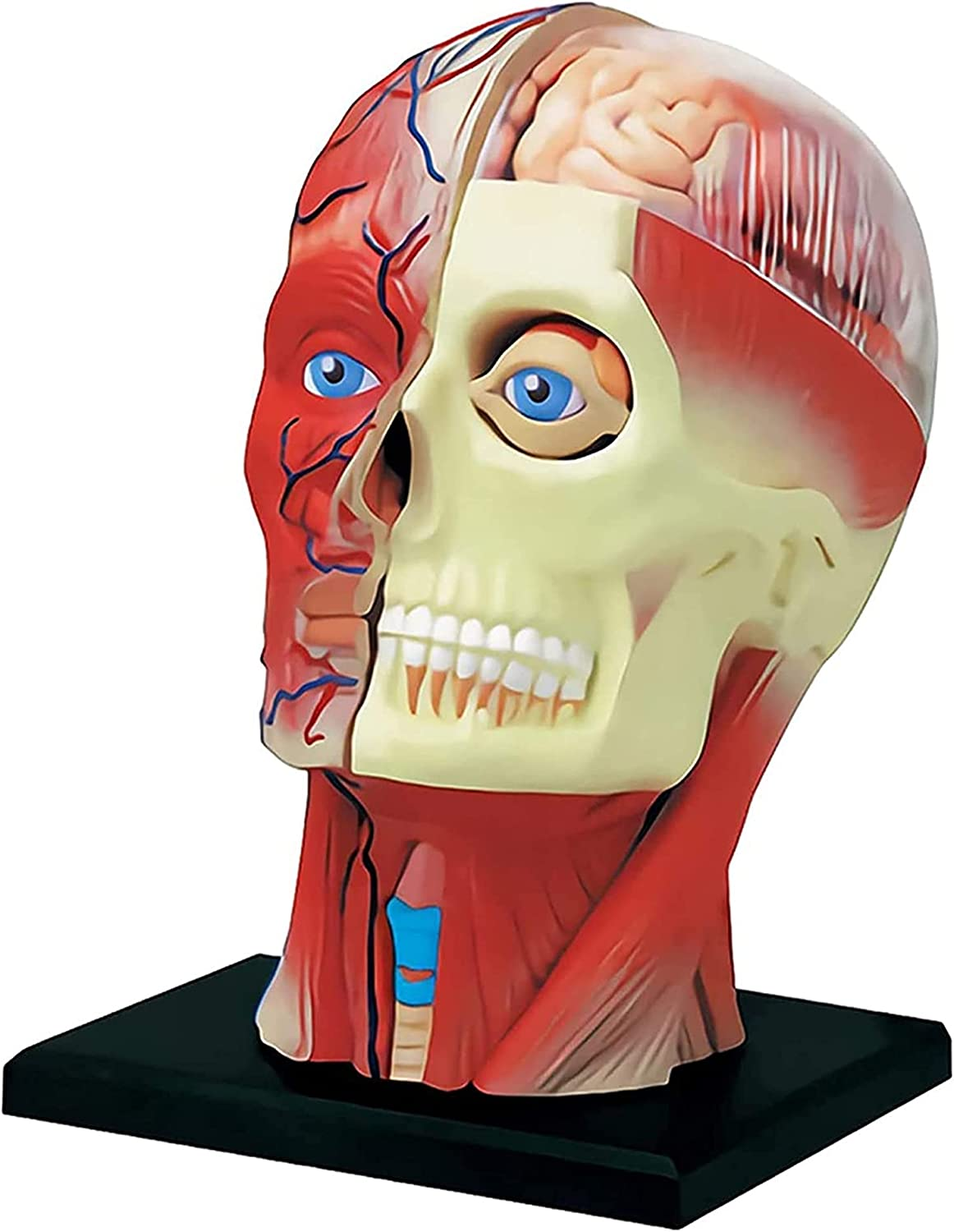 Popularity 4D Human Excellence Head Anatomy Model Anatomical PVC Artery Cerebral