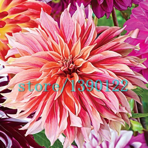 100pcs Dinner Plate rainbow Dahlia seeds, Chinese Peony bonsai flower seeds ,22 colors to choose, for home garden plantting 11