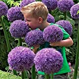 OIYINM77 Graines - GIANT Ornamental (Allium giganteum) Bulbe de Fleur 10-100 Graines Plante Ornementale Vivace