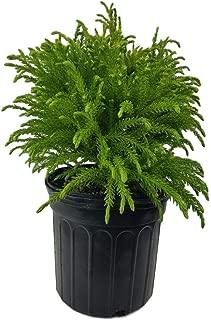 globosa nana evergreen