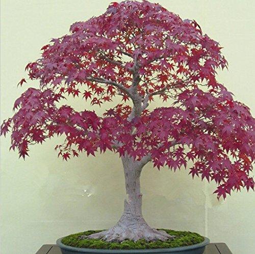 50 graines d'érable japonais Bonsaï érable rouge magnifique couleur 100% réel Graines de bricolage jardin Bonsaï Graines